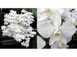 Орхідея підліток. Сорт Amabilis × sib, горщик 2.5 без квітів