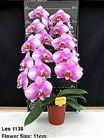 Орхідея Сорт 1136, горщик 2.5 без квітів