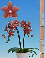 Орхідея Сорт Lovely cutie, горщик 2.5 без квітів