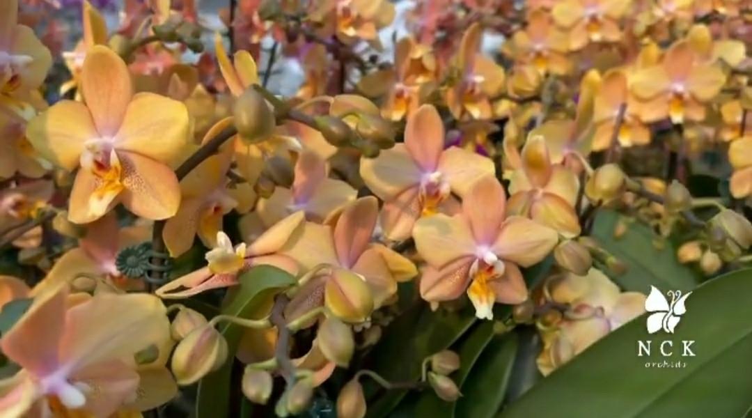 Орхидея подросток Mapple Valley, 1.7 без цветов, диаметр горшка 5 см