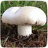 Мицелий гриба Шампиньон Крупноплодный, 10г