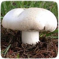 Мицелий гриба Шампиньон Крупноплодный, 10г, фото 1