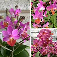 Орхідея сорт Liu's Triprince 'Pink', без квітів, діаметр горщика 2.5 дюйма, фото 1