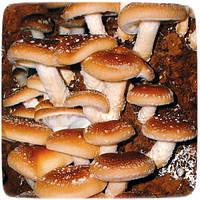 Мицелий гриба Шиитаке Императорский, 10г