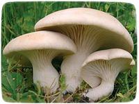 Мицелий гриба Вешенка Королевская, 10г, фото 1