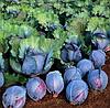 РОКСИ F1 - семена капусты краснокачанной поздней, 2500 семян , Semenis