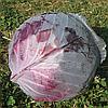 РЭД ДИНАСТИ F1 - семена капусты краснокачанной ранней, 2500 семян , Semenis