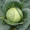 ТОБИЯ F1   - семена капусты белокочанной средней, 2500 семян , Semenis