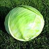 АРРИВИСТ F1 - семена капусты белокачанной среднепоздней, 2500 семян , Semenis