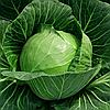 ЧЭМП F1 (ЧАМП F1) - семена капусты белокочанной, ультраранней 2500 семян , Semenis