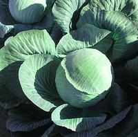 ГАЛАКСИ F1 - семена капусты белокачанной поздней, 2500 семян , Semenis