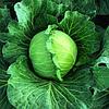 ДИДОНЕ F1 - семена капусты белокачанной ультраранней, 2500 семян , Semenis