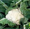 КЕРДОС F1 - семена капусты цветной, 1000 семян, Semenis