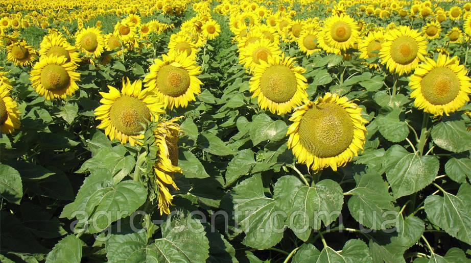 Семена подсолнуха Pioneer PR63А90 (Пионер ПР63А90)