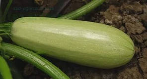 Семена кабачка Асма F1, 1 шт, Clause (Клоз), Франция