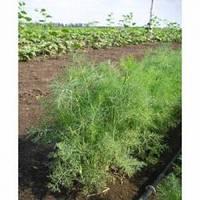 Семена среднераннего укропа Дилл, Clause (Франция), 0,5 кг.