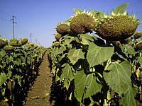 Семена подсолнуха НК Конди, фото 1
