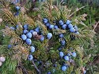 Можевельник обыкновенный плод 50 г