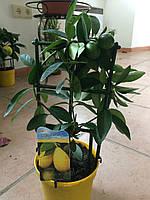 Лимон Лимонелла(LIMONELLA)
