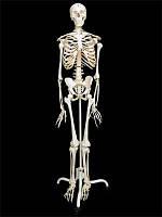 Модель скелета людини на підставці (170 см)