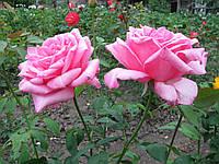 Саженцы розы Queen Elizabeth