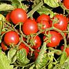 ЦЕРАЗО F1 семена томата детерминантного черри, Semenis