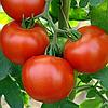 ЭНИГМА F1 - семена томата индетерминатного, Semenis