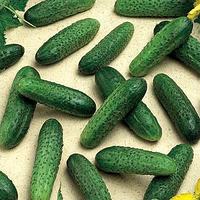МИРАБЕЛЛ F1  - семена огурца, Seminis 250 семян