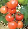 МАГНУС F1 - семена томата полудетерминантного, 500 семян, Semenis