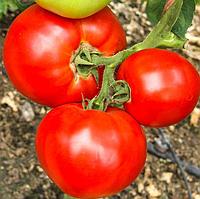 МИРСИНИ F1   - семена томата детерминантного, 1000 семян, Semenis, фото 1