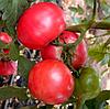 ПАНДАРОЗА F1  - семена томата индетерминатного розового  500 семян, Semenis