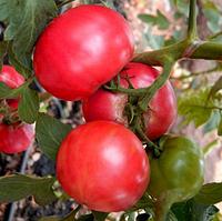 ПАНДАРОЗА F1  - семена томата индетерминатного розового  500 семян, Semenis, фото 1