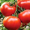 ЦЕЛЬСУС F1 - семена томата индетерминатного, 500 семян, Semenis