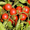 ЦЕРАЗО F1 семена томата детерминантного черри, 1000 семян, Semenis
