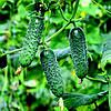 МАДИТА F1 - семена огурца партенокарпического, 250 семян, Semenis