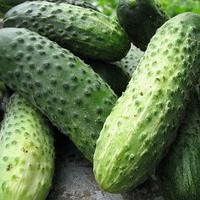 МАРИНДА F1 - насіння огірка партенокарпічного, 1000 насіння, Semenis