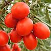 6 ПУНТО 7 F1 - семена томата детерминантного черри, 1000 семян, Semenis