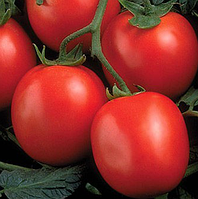 ПЕРФЕКТПИЛ F1  - семена томата детерминантного 1000 семян, Semenis