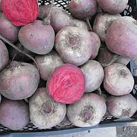 БЕБИБИТ - насіння буряка столового PR, 25 000 насінин, Rijk Zwaan, фото 1