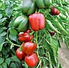 СОНДЕЛА F1 - семена перца сладкого, 1 000 семян, Rijk Zwaan