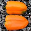 ТРИОРА F1 - семена перца сладкого, 1 000 семян, Rijk Zwaan