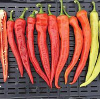 ЯНКА F1 - семена перца острого, 100 семян, Rijk Zwaan, фото 1