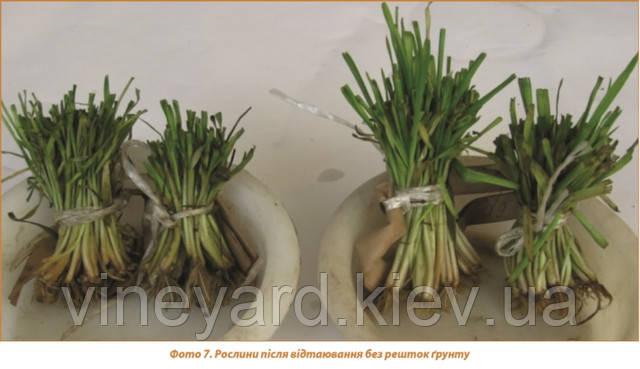 определение жизнеспособности озимой пшеницы, листовая подкормка или пересев ячменем