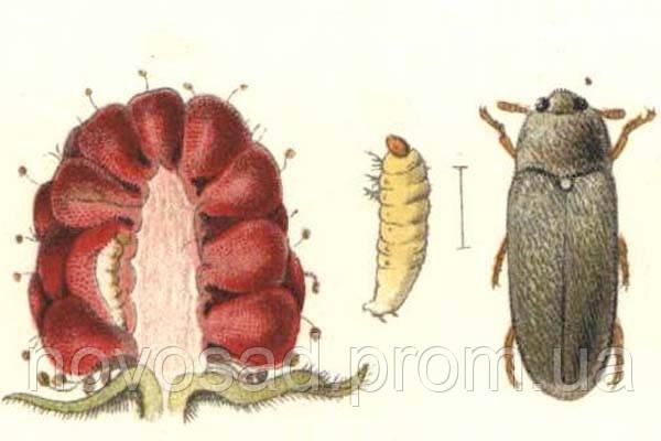 Малинный жук. (Byturus tomentosus).