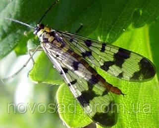 Малинная стеблевая муха (Chortophila dentiens).
