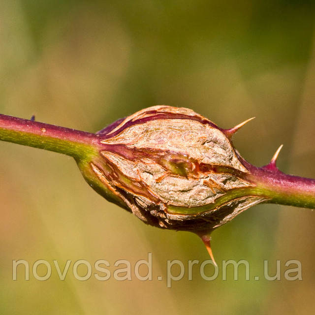 Малинная стеблевая галлица (Resseliella theobaldi).