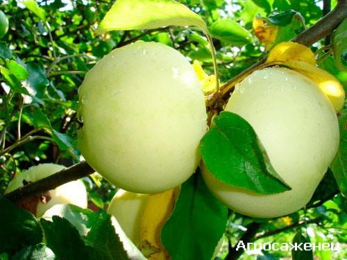 Яблоня Кальвий Снежный