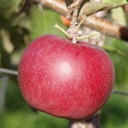 Яблуня Джонаголд Ерлі Квін