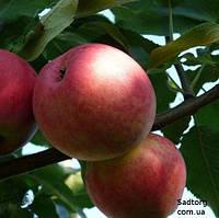 Яблоня Мантет (л)