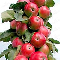 Яблоня колоновидная Вожак